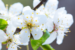 Wild cherry tree blossom in spring Stock Image