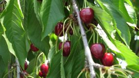 Wild cherry in the tree stock footage