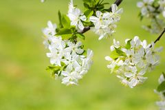 Wild cherry white flower blossom in springtime Royalty Free Stock Photos