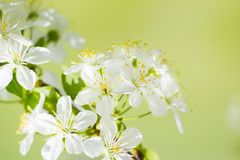 Wild cherry white flower blossom in springtime Stock Images
