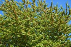 wild Cherrytree Royaltyfri Bild