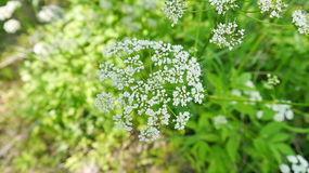 Wild chervil. On the meadow Stock Image