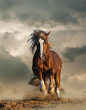 Wild chesnut draft horse running. Gallop under the cloudy skies stock photography