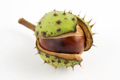 Wild chestnut Royalty Free Stock Images