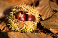 Wild chestnut Stock Images