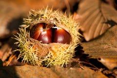 Wild chestnut Stock Images
