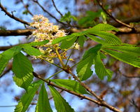 Wild chestnut branch with leaves and flowers Stock Images