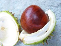 Wild chestnut fruit Royalty Free Stock Photos