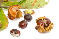 Wild Chestnut or Horse Chestnut Stock Photography