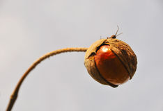 Wild Chestnut Seed stock photography