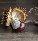 Wild chestnut in a shell. Wild chestnut and a spiked shell Royalty Free Stock Image