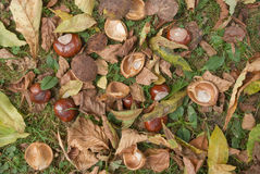 Wild Chestnuts Stock Image