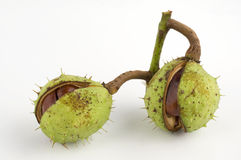 Wild chestnuts Royalty Free Stock Image