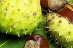 Wild chestnuts detail Stock Photography