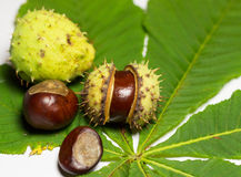 Wild chestnuts Royalty Free Stock Photography