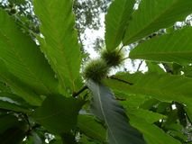Wild Chestnuts Growing Royalty Free Stock Photo