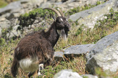 Wild Cheviot Goat Stock Image