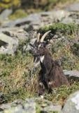 Wild Cheviot Goat Royalty Free Stock Photo