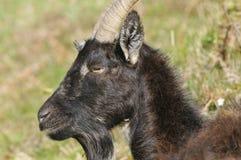 Wild Cheviot Goat Royalty Free Stock Image