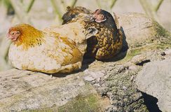 Chicken at the sunbathing on a stone in the outdoor enclosure Stock Photo