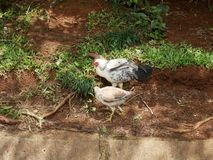 Chickens. Wild chickens in hawaii stock photos