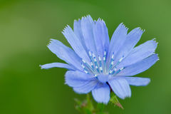 Wild chicory 2 Royalty Free Stock Photography
