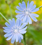 Wild chicory. Pair of flowers of wild chicory on a background of a different field grass. Shallow DOF Royalty Free Stock Photo
