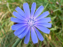 Wild Chicory. Closeup of chicory royalty free stock photo