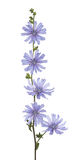 Wild chicory Royalty Free Stock Photography