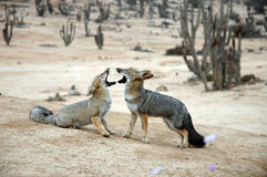 Wild Chilean desert foxes, face to face. Two wild foxes of Chile's Atacama Desert, face to face. Pan de Azucar National Park Royalty Free Stock Images