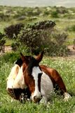 Wild Chilean horse resting stock photo