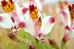 wild chilensk lilja Arkivfoton