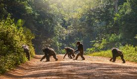 A wild chimpanzee in Uganda walks upright like a human. Interesting animal behavior, with a male chimpanzee walking upright, like a human, across a dirt road stock photos
