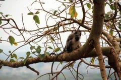 Wild chimpanzees in the treetops of Africa Uganda stock photos