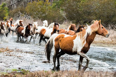 Wild Chincoteague Ponies. Being rounded up Royalty Free Stock Photography
