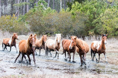 Wild Chincoteague Ponies Stock Images