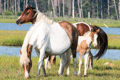 Wild Chincoteague Ponies with new foal. Royalty Free Stock Photos
