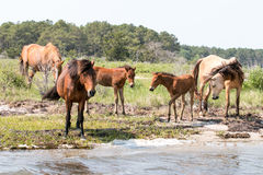 Wild Chincoteague Ponies with new foals. Stock Photography