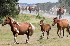 Wild Chincoteague Ponies roundup. Wild Chincoteague Ponies being rounded up for the annual Pony Auction Royalty Free Stock Image