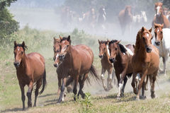 Wild Chincoteague Ponies roundup. Wild Chincoteague Ponies being rounded up for the annual Pony Auction Stock Photo