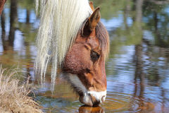 Wild Chincoteague ponny Royaltyfri Foto