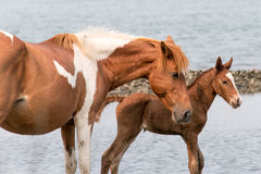 Wild Chincoteague ponny Royaltyfria Bilder