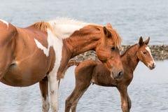 Wild Chincoteague ponny Royaltyfria Bilder