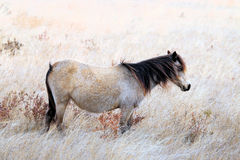 Wild Chincoteague Pony Stock Photography