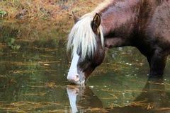 Wild Chincoteague Pony Royalty Free Stock Photography
