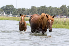 Wild Chincoteague Pony with new foal. Royalty Free Stock Photography