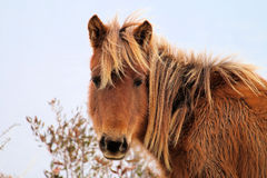 Wild Chincoteague Pony Royalty Free Stock Photos