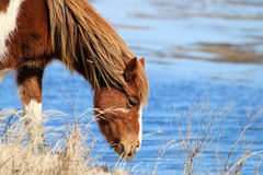 Wild Chincoteague Pony Stock Images
