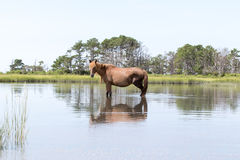 Wild Chincoteague Pony walking in the water. Stock Photography