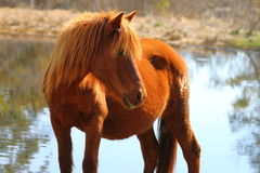 Wild Chincoteague Pony Stock Image